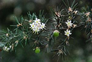 Asparagus fallax - Crédit : Philweb (CC-BY-SA)